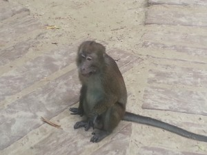 macaque close encounter
